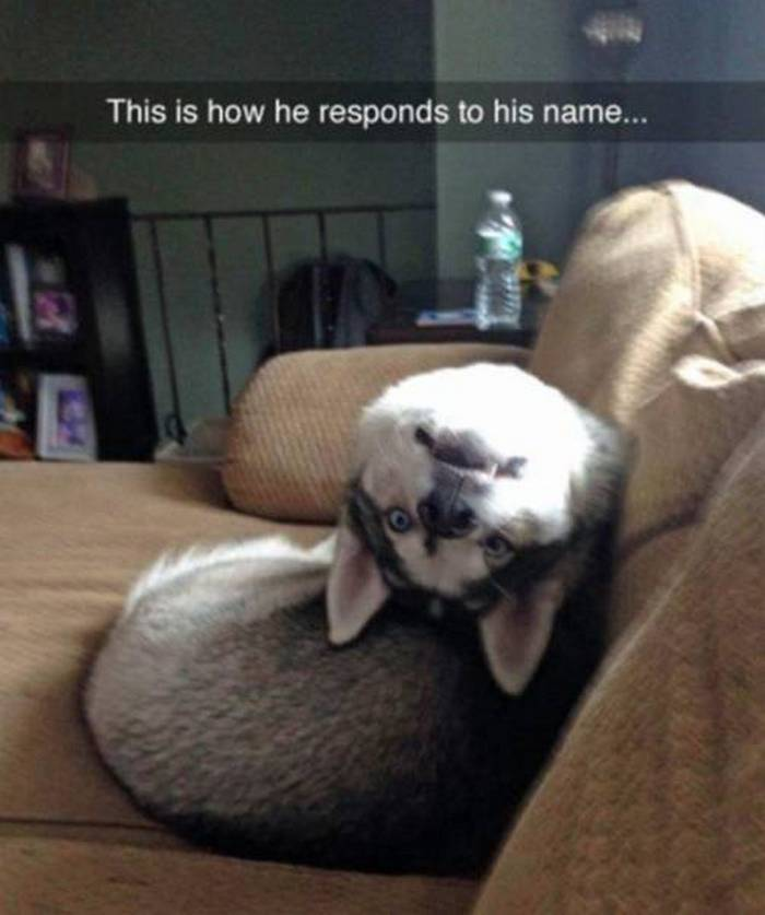 36 Funny Huskies That Are Cute And Stupid At The Same Time-04
