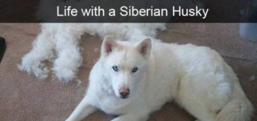 funny-huskies-that-are-cute-and-stupid-06
